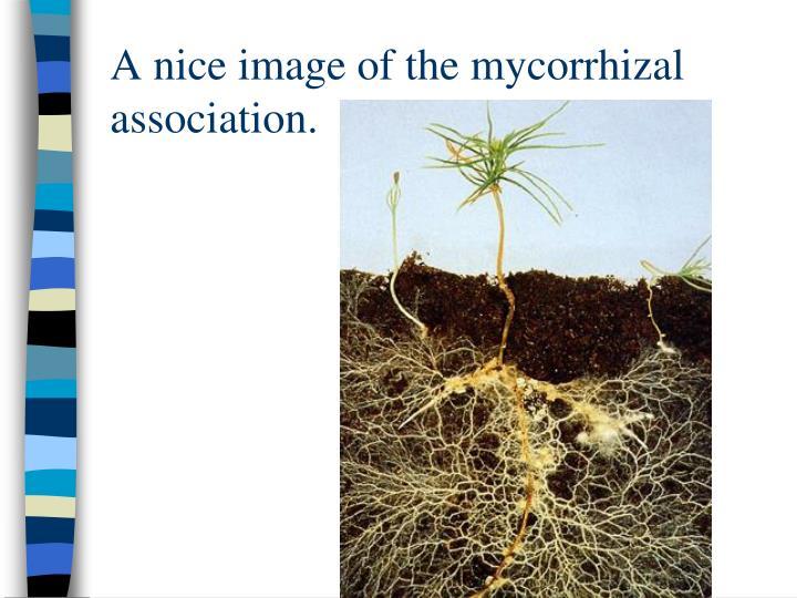 A nice image of the mycorrhizal association.