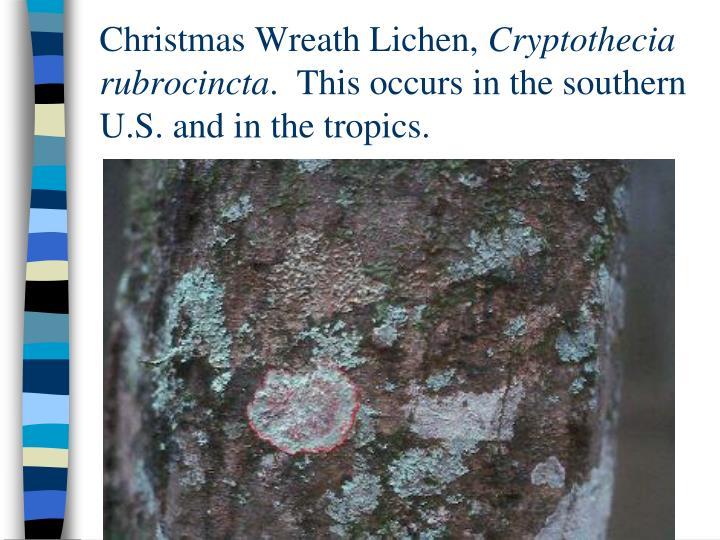 Christmas Wreath Lichen,