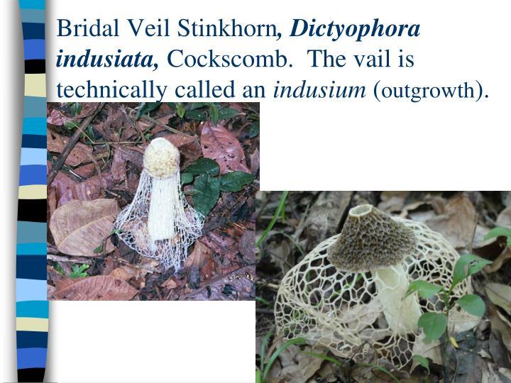 Bridal Veil Stinkhorn