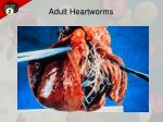 adult heartworms