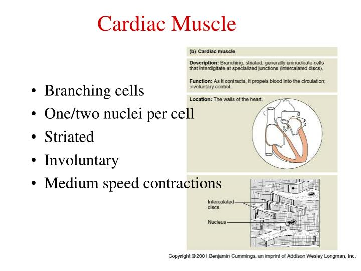 Ppt Muscle Physiology Powerpoint Presentation Id6705456