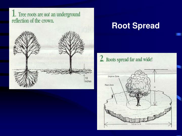 Root Spread