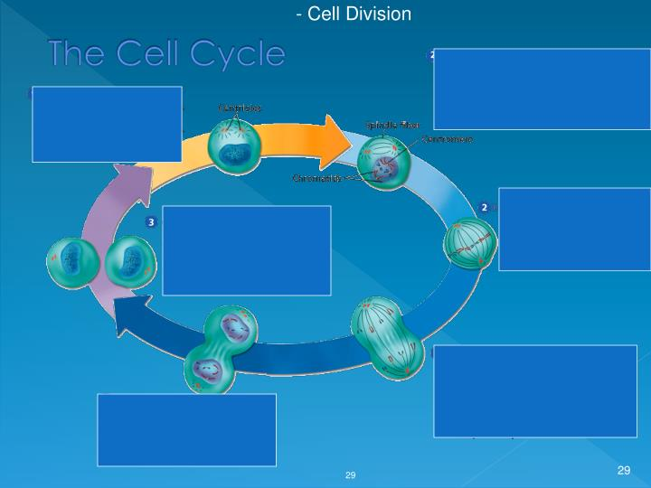 - Cell Division