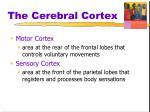 the cerebral cortex3