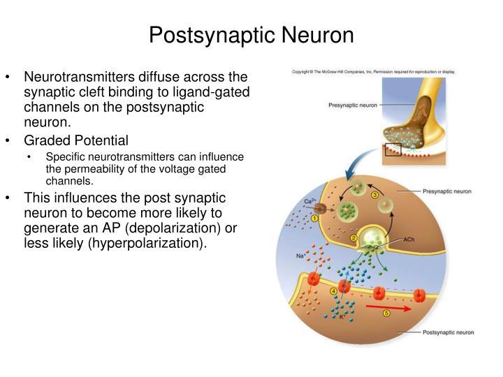ppt - neurons powerpoint presentation
