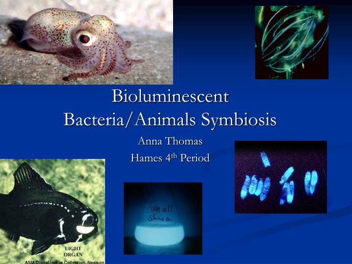 bioluminescent bacteria animals symbiosis anna thomas hames 4 th period n.