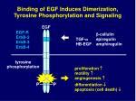 binding of egf induces dimerization tyrosine phosphorylation and signaling