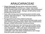 araucariaceae1
