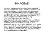 pinaceae1