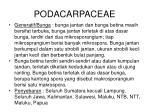 podacarpaceae1