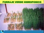 forraje verde hidroponico2