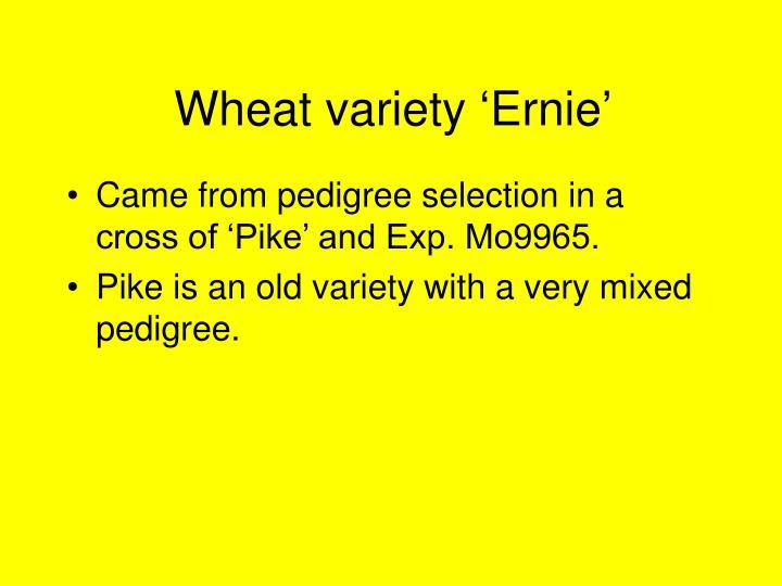 Wheat variety 'Ernie'