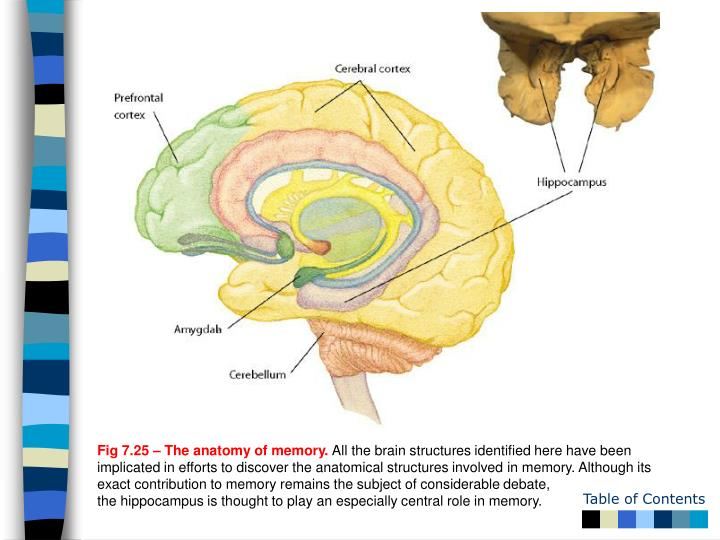 Fig 7.25 – The anatomy of memory.