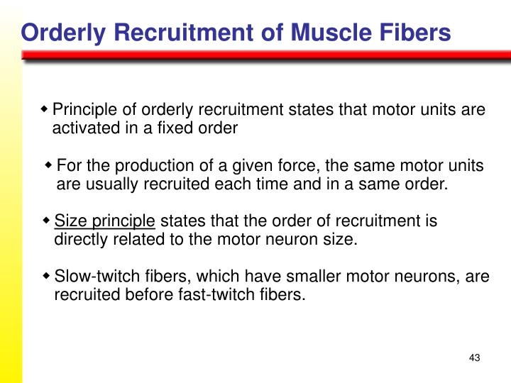 Orderly Recruitment of Muscle Fibers