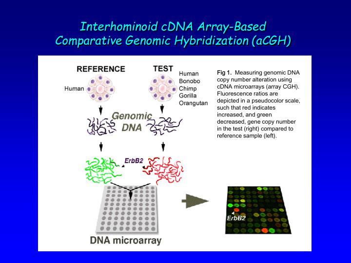 Interhominoid cDNA Array-Based Comparative Genomic Hybridization (aCGH)