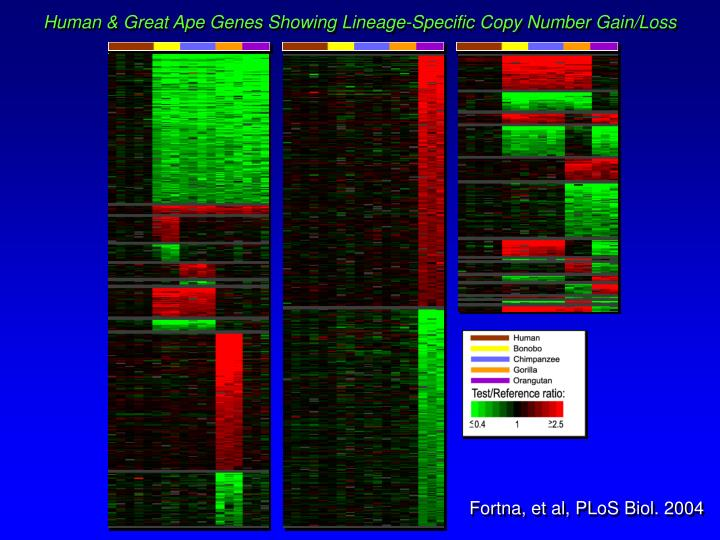 Human & Great Ape Genes Showing Lineage-Specific Copy Number Gain/Loss