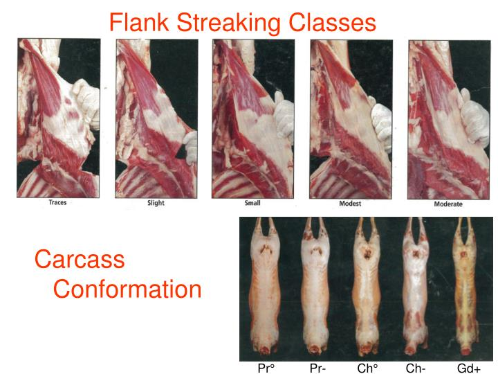 Carcass Conformation
