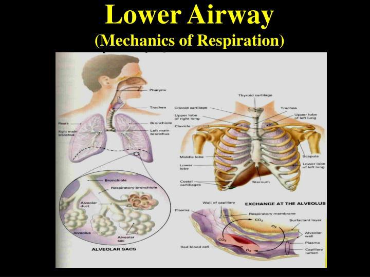 Lower airway mechanics of respiration