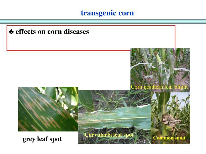 transgenic corn