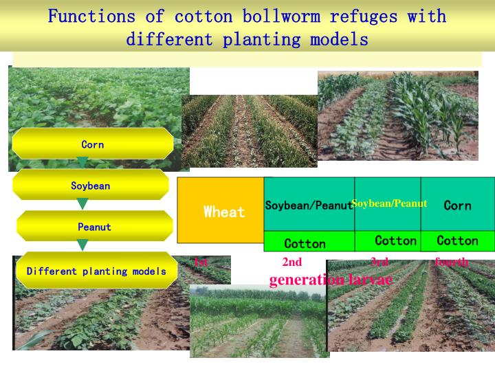 Functions of cotton bollworm refuges with different planting models
