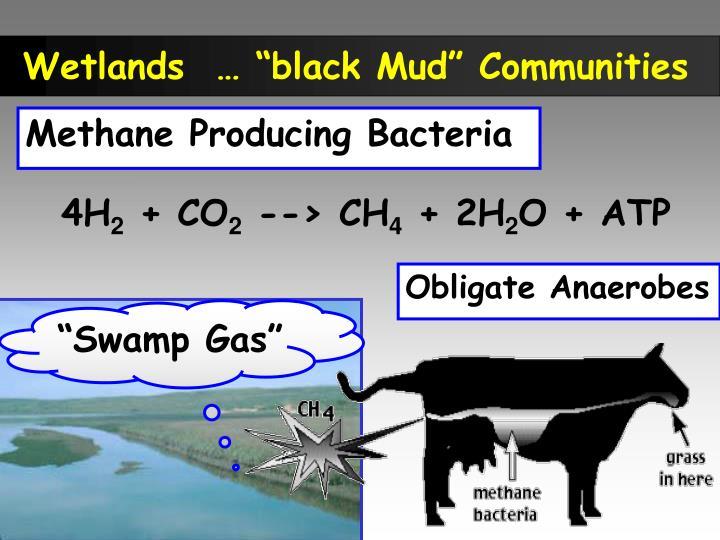 """Wetlands  … """"black Mud"""" Communities"""