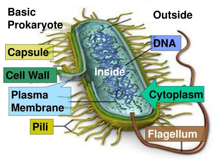 Basic Prokaryote