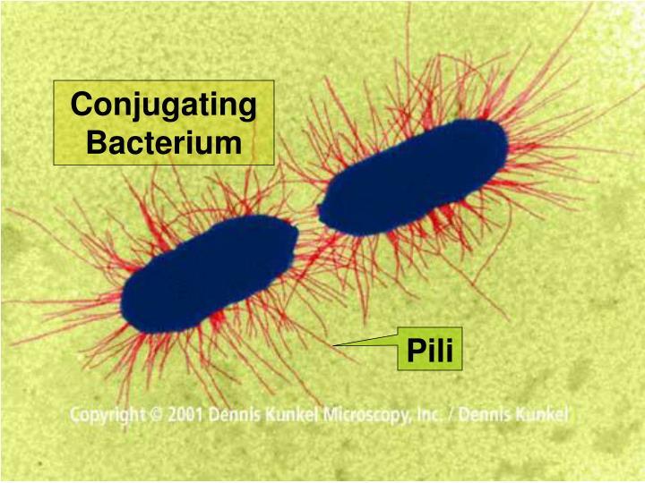 Conjugating Bacterium