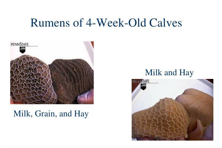 Rumens of 4-Week-Old Calves