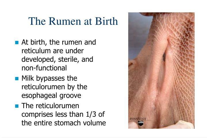 The Rumen at Birth