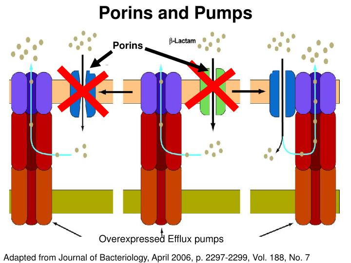 Porins and Pumps