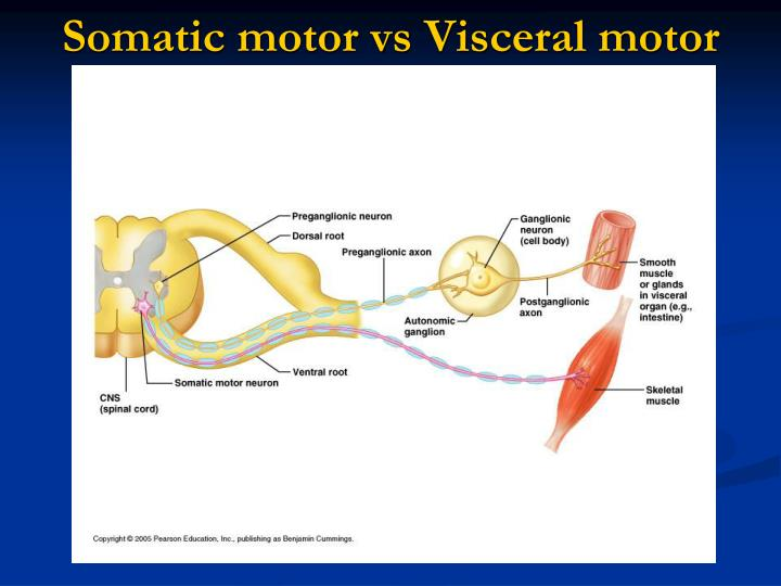 Somatic motor vs visceral motor1