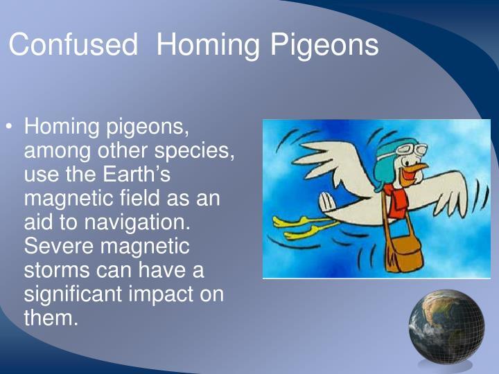 Confused  Homing Pigeons