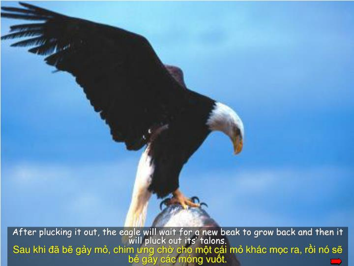 After plucking it out, the eagle will wait for a new beak to grow back and then it will pluck out its' talons.