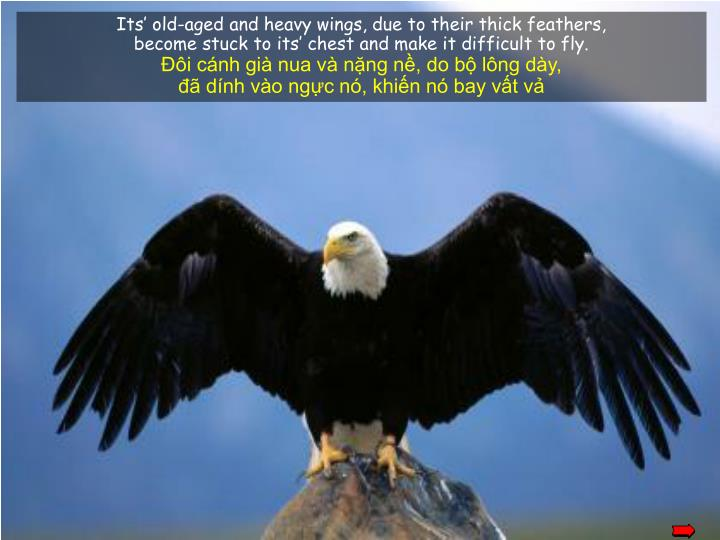 Its' old-aged and heavy wings, due to their thick feathers,
