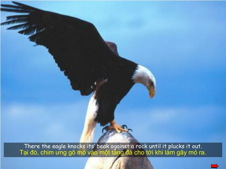 There the eagle knocks its' beak against a rock until it plucks it out.