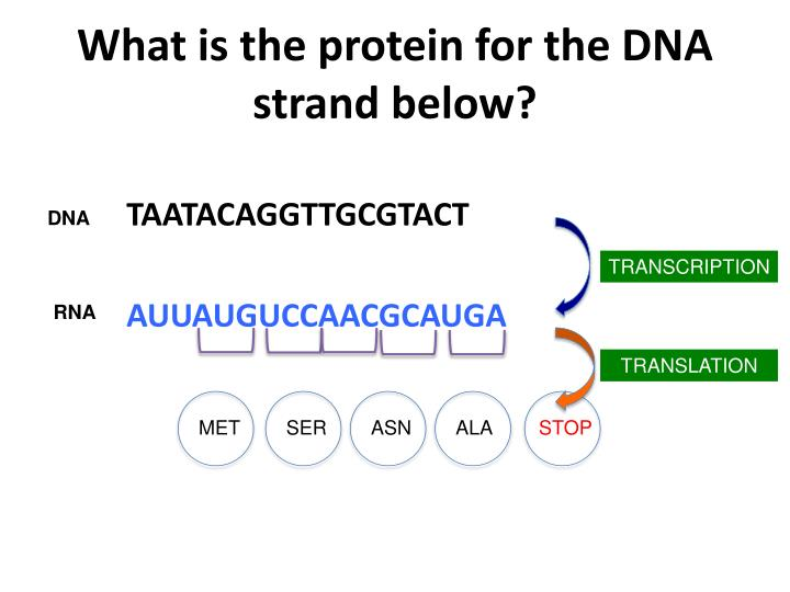 What is the protein for the dna strand below