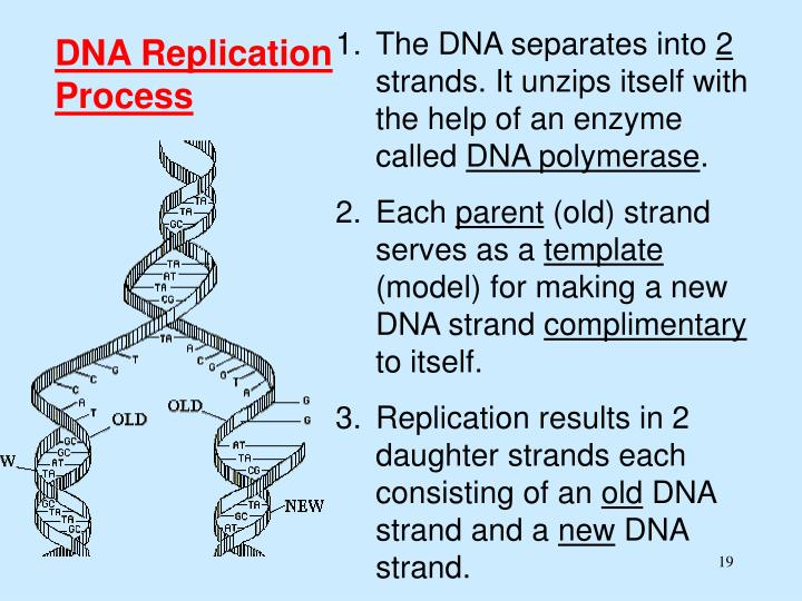 The DNA separates into