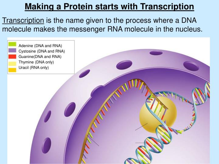 Making a Protein starts with Transcription