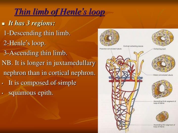 Thin limb of