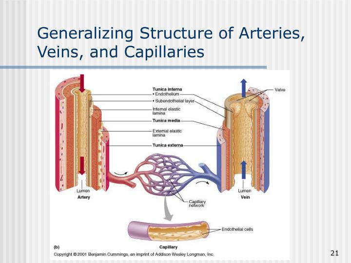 Generalizing Structure of Arteries, Veins, and Capillaries