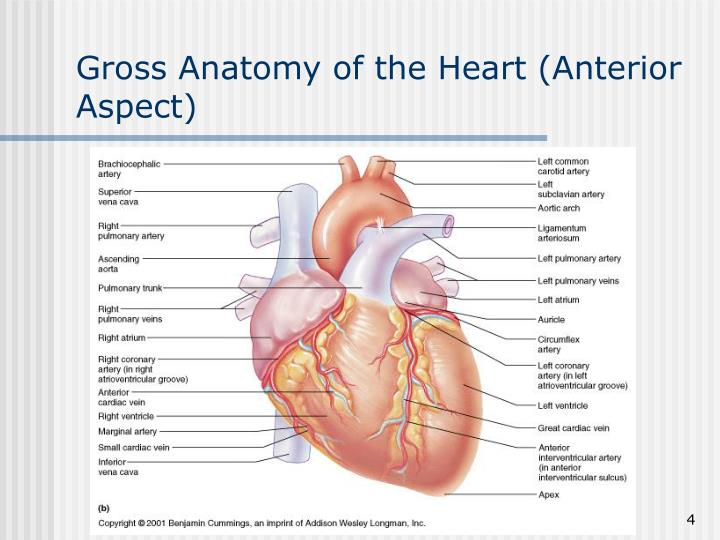 Gross Anatomy of the Heart (Anterior Aspect)