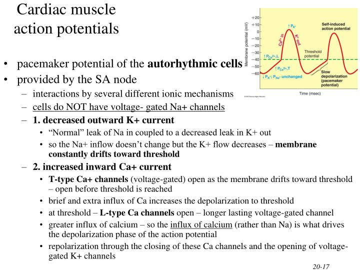 Cardiac muscle action potentials