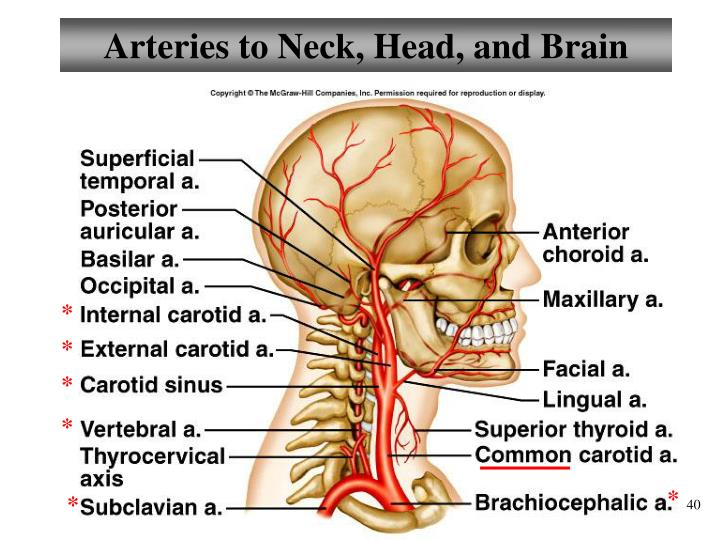 Arteries to Neck, Head, and Brain