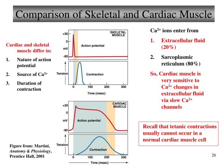 Comparison of Skeletal and Cardiac Muscle