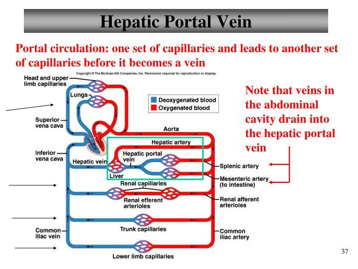 Hepatic Portal Vein