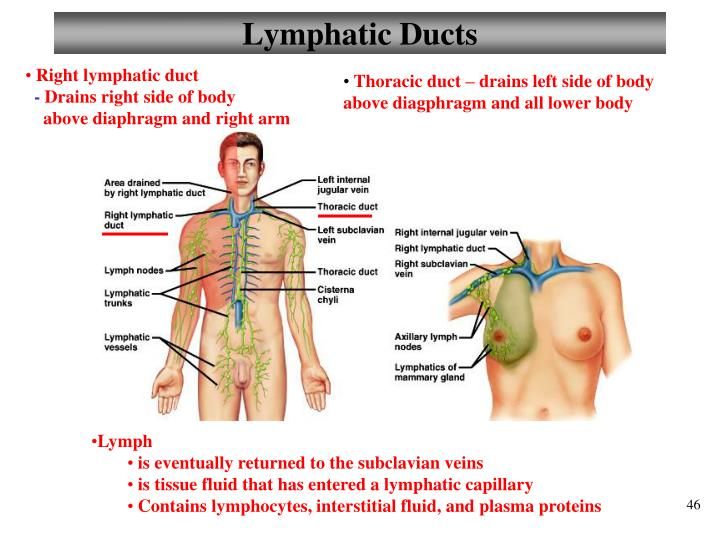 Lymphatic Ducts