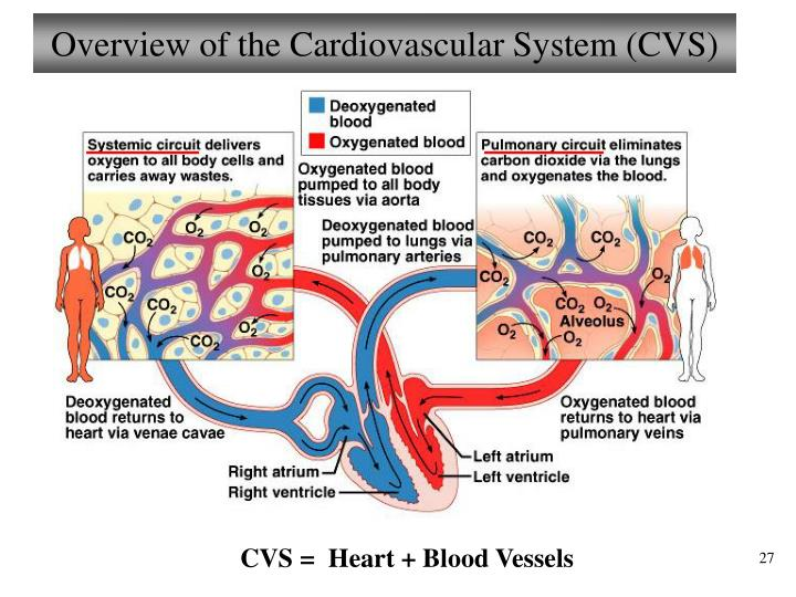 Overview of the Cardiovascular System (CVS)