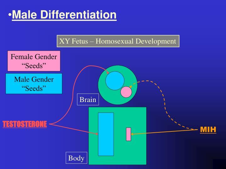 Male Differentiation