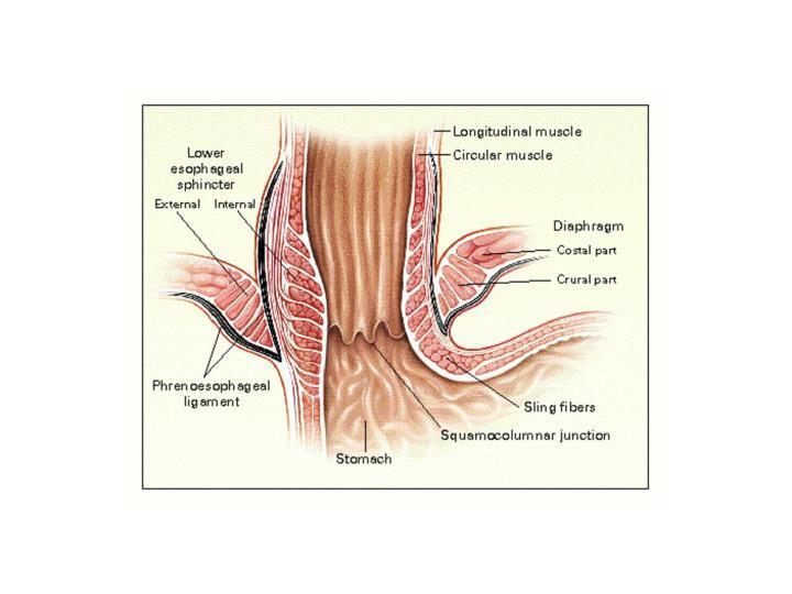 Anatomy of the Esophagogastric Junction