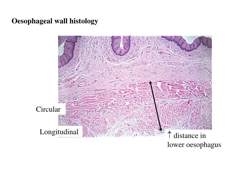 Oesophageal wall histology